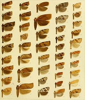 <i>Choristoneura lafauryana</i> Species of moth