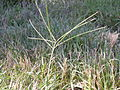 Digitaria sanguinalis (3874835780).jpg