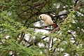 Dinemellia dinemelli -Tarangire National Park, Tanzania-8 (2).jpg