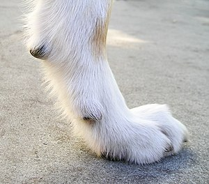 Dewclaw - This younger, active dog's dewclaw always makes contact while running, so it wears down naturally to its proper length, as do its other nails.
