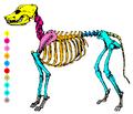 Dog skeleton seksjonal.png