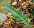 Doodia australis in Wellington Botanical Garden 02.jpg