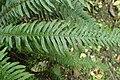 Doodia australis kz5.jpg