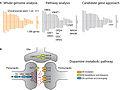 Dopamine metabolic pathway.jpg