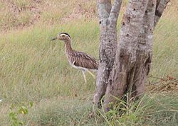 Double-striped Thick-knee 2496257894.jpg