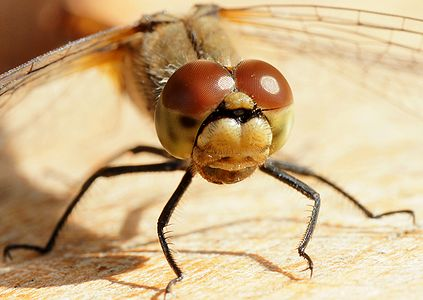 """""""portrait"""" of a dragonfly"""