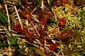 Drosera rotundifolia r2.JPG