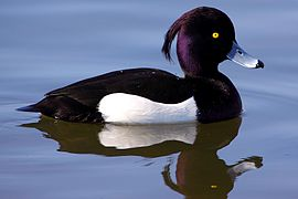 Duck - Richmond Park (6932900915).jpg