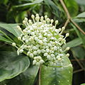 Duperrea pavettifolia-IMG 4434.jpg