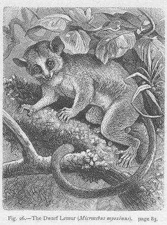Dwarf lemur - A lithograph of a dwarf lemur from Carl Vogt and Friedrich Specht's The Natural History of Animals (1888)
