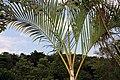 Dypsis lutescens 24zz.jpg