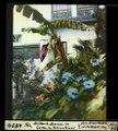 ETH-BIB-Fès, blühende Banane im Garten des Palais Jamaï-Dia 247-04890.tif