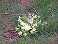 Easter primroses - geograph.org.uk - 733428.jpg