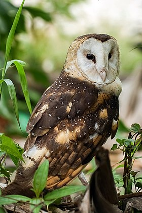 Eastern-grass-owl-1134817.jpg