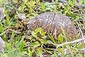 Eastern Box Turtle (Terrapene carolina carolina) (26261201220).jpg