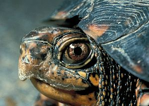 Eastern Box Turtle Head.jpg
