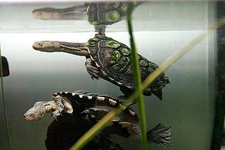 Pleurodira Order of turtles