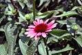 Echinacea Twilight 9zz.jpg