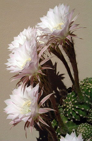 Cactus - Large flowers of an Echinopsis