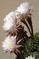 Echinopsis multiplex cropped.jpg