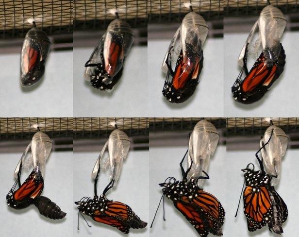 Eclosing Danaus plexippus, monarch butterfly, life cycle Megan McCarty118