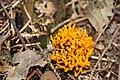 Ecomare - paddenstoel kleverige koraalzwam (paddenstoel-kleverige-koraalzwam-00-yh).jpg