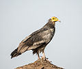 Egyptian Vulture (14657220504).jpg