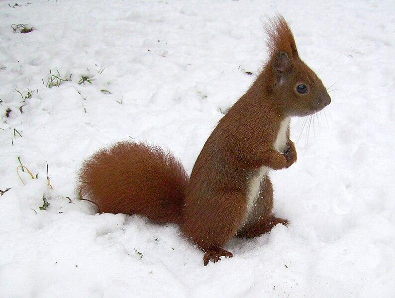 File:Eichhörnchen auf Schnee.jpg