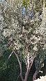 Elaeagnus angustifolia in Barcelona.jpg