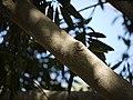 Elaeodendron orientale (4610565763).jpg