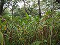 Elakki (Kannada- ಏಲಕ್ಕಿ) (5597881931).jpg