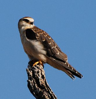 Black-winged kite - Immature from Etosha National Park, Namibia