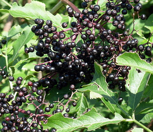 https://upload.wikimedia.org/wikipedia/commons/thumb/4/49/Elderberries2007-08-12.JPG/512px-Elderberries2007-08-12.JPG