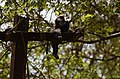 Electrocuted lion-tailed macaque infant in Valparai DSC 2517.jpg