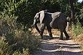 Elephant, Ruaha National Park (27) (28725515185).jpg