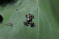 Eleutherodactylus iberia10.jpg
