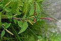 Elsholtzia ciliata 070924a.JPG