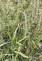 Elymus sibiricus 107576962.jpg