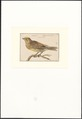 Emberiza citrinella - 1753-1834 - Print - Iconographia Zoologica - Special Collections University of Amsterdam - UBA01 IZA1000268.tif