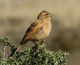 Emberiza impetuani -Northern Cape, South Africa-8.jpg