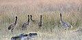 Emu chicks ( Dromaius novaehollandiae) (38128598426).jpg