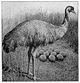 Emu volume 3 frontispiece.jpg