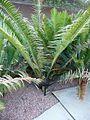 Encephalartos senticosus vista lateral.JPG