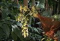 Epidendrum stamfordianum Batman.jpg
