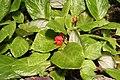 Episcia cupreata var viridifolia IMG 1736.jpg