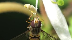 File:Episyrphus balteatus.ogv