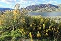 Ericameria nauseosa kz01.jpg