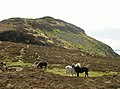 Eriskay ponies on Holy Isle - geograph.org.uk - 1290204.jpg
