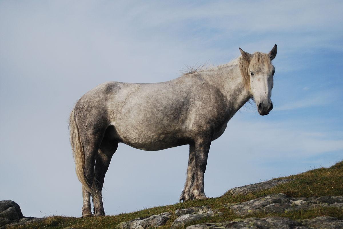 Eriskay Pony Wikipedia