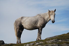 Image illustrative de l'article Eriskay (cheval)